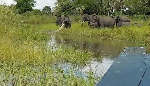 مبارزه مرگ و زندگی بچه فیل و تمساح