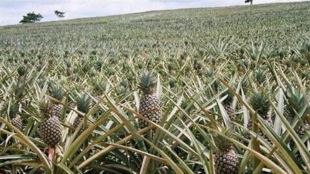 عکس/ تابحال مزارع آناناس را دیده اید؟!