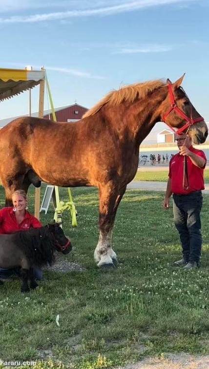قدبلندترین اسب
