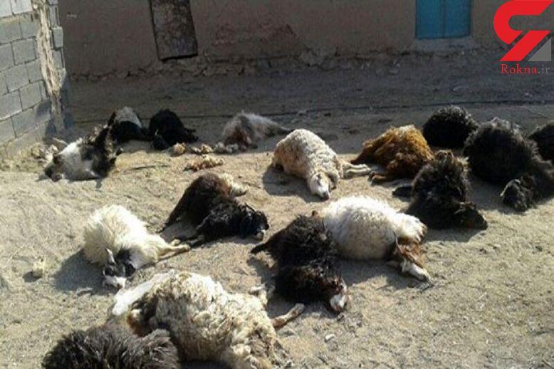 مرد انتقامجو 400  گوسفند را کشت / در صالح آباد رخ داد