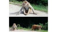 حمله میمون های وحشی به گیلان/ وحشت مردم منطقه سیاهکل