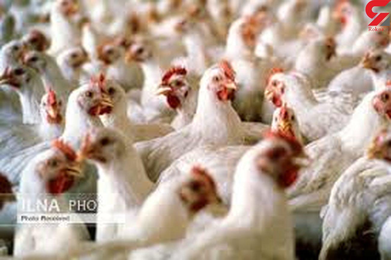 گیلان دومین تولید کننده مرغ مادر گوشتی کشور