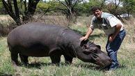 حمله مرگبار اسب آبی به کشاورزی در آفریقای جنوبی+ عکس