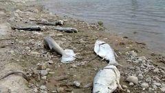 تلخ ترین عکس از مرگ دسته جمعی ماهی ها در گناوه! + جزییات