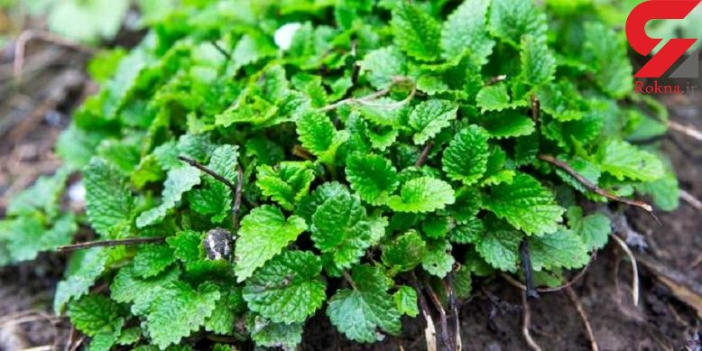 کاهش اضطراب با گیاهی سحرآمیز