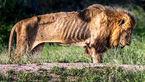 لحظات مرگ شیر پیر + عکس
