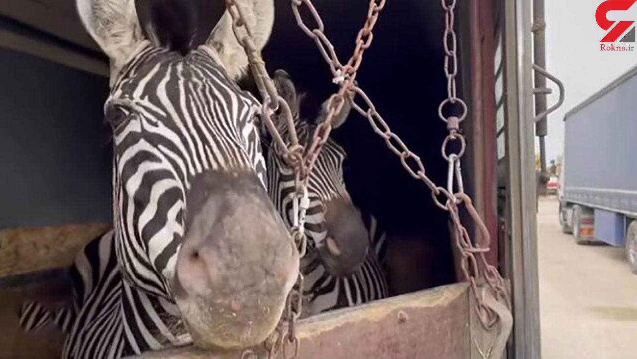 فیلم تکاندهنده از انتقال گورخر های آفریقایی به ایران /مرگ یک گورخر