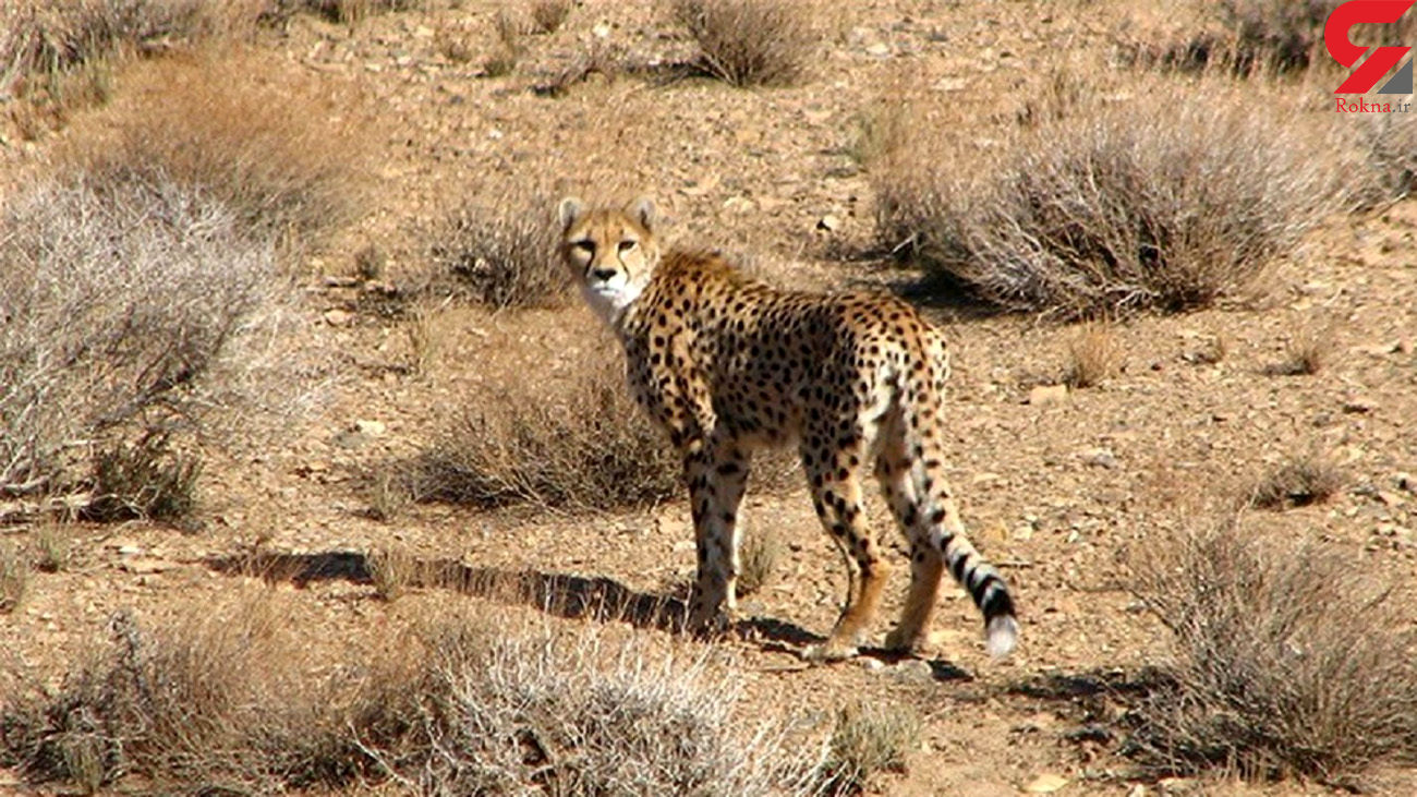 گرداب انقراض در کمین یوزهای ایرانی / مشاهده یوزپلنگ ایرانی در سمنان