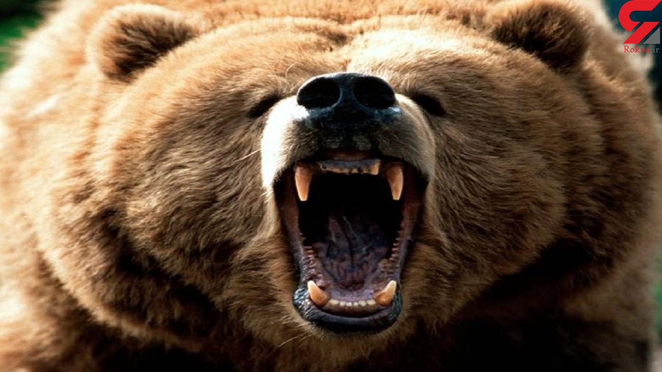 حمله خونین خرس وحشی به 2 مرد تنکابنی