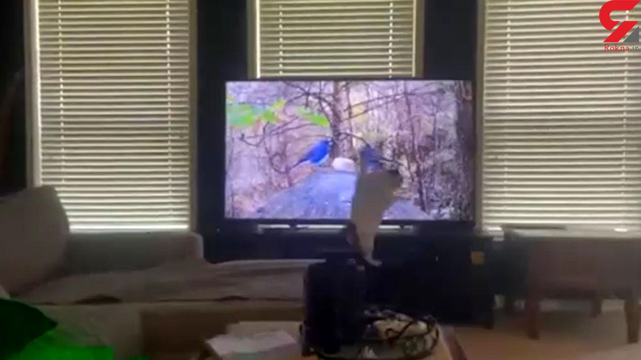 عاقبت گربهای که قصد شکار پرندگان داخل تلویزیون را داشت! + فیلم