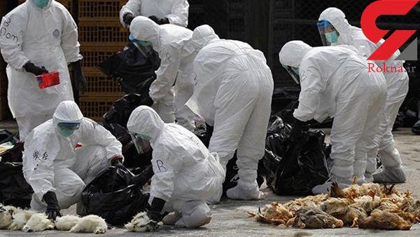 مصرف تخم مرغ  آلوده راهی برای انتقال آنفلوانزای مرغی