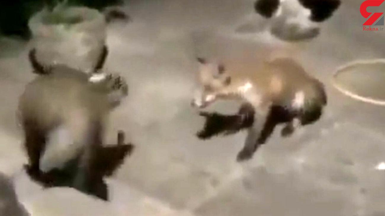 گورکن این روباه را غافلگیر کرد + فیلم