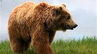 جدال وحشتناک خرس قهوه ای و چوپان کوهرنگی