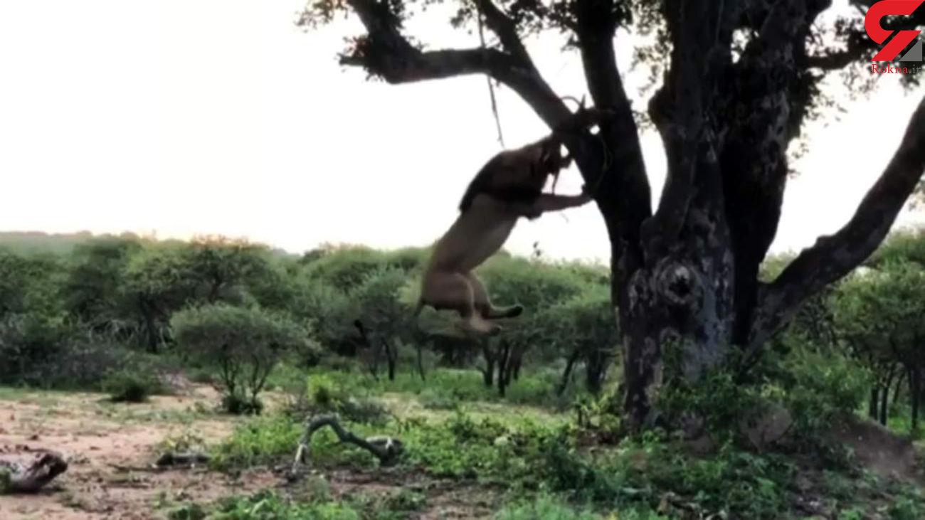 آویزان شدن شیرها از درخت برای خوردن شکار پلنگ! + فیلم
