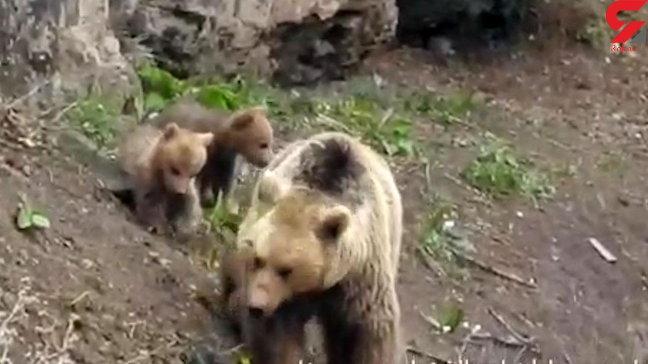 فیلمی از زندگی خرس مادر با 3 توله اش در مازندران