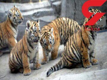 7 توله ببر باغ وحش مشهد جان باختند / دستور ویژه صادر شد