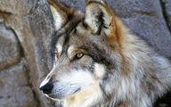 حمله خونین گرگ های گرسنه به 2 روستا در همدان