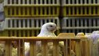 صادرات مرغ ازسرگرفته شد/مرغداران جوجه یکروزه رابالاتر از۱۵۰۰نخرند