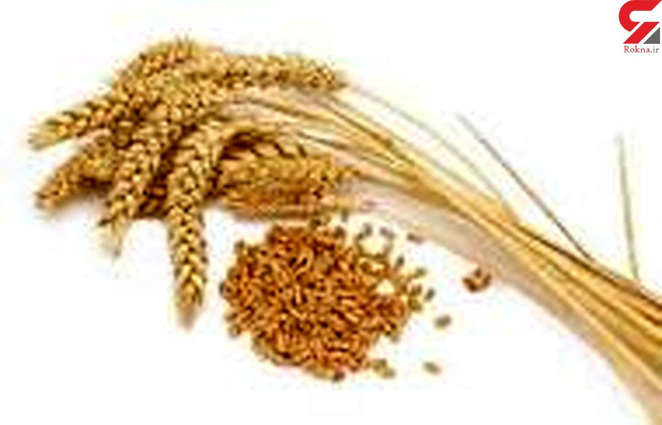 خریداری ۱۹۰۰ تن گندم بذری گواهی شده در استان