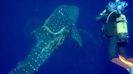 کمک غواص به کوسه نهنگ گرفتار در طناب ضخیم + فیلم