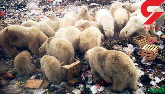 هجوم خرسهای سفید رنگ به شهر / وضعیت اضطراری اعلام شد+عکس