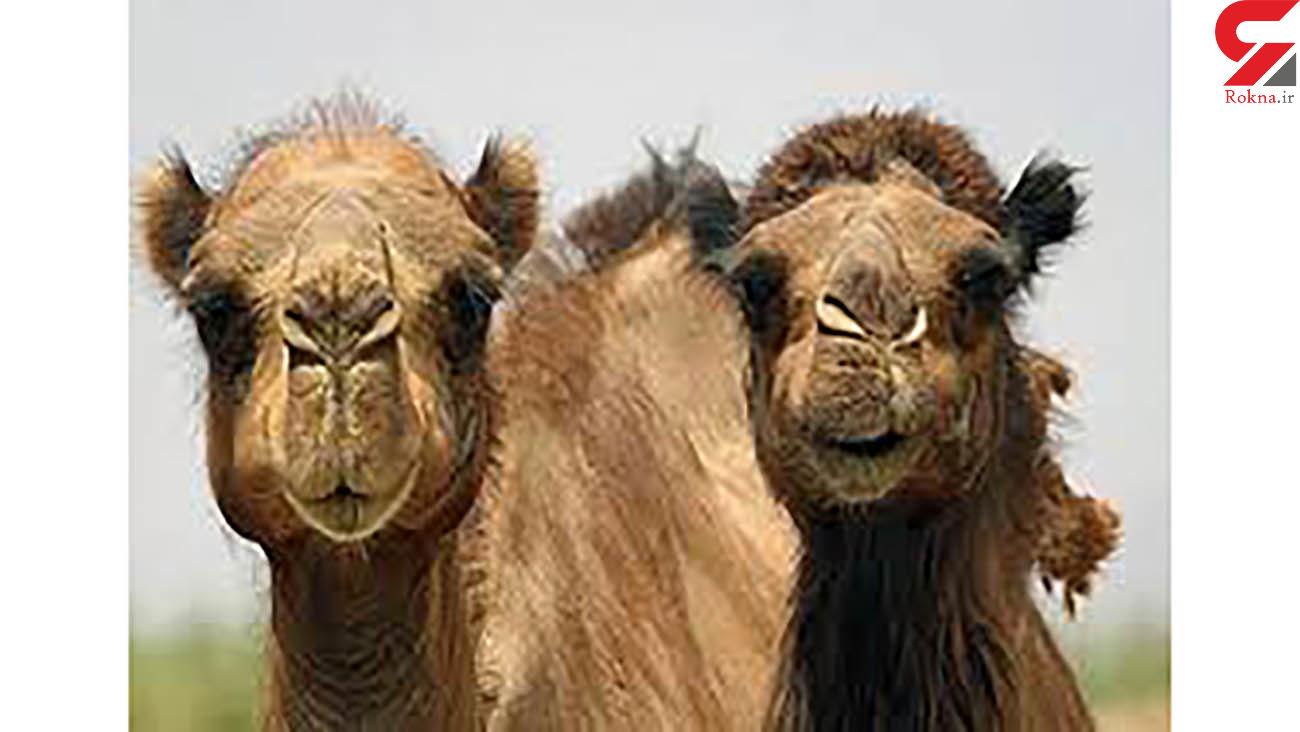 کشف 16 نفر شتر قاچاق در میناب