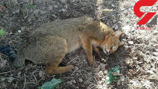 ۵ قلاده گربه جنگلی در مناطق حفاظت شده اسلامآباد غرب شناسایی شد