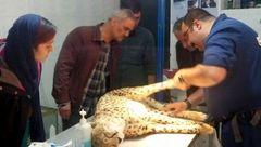 تصادف خودرو با یوزپلنگ ایرانی در میاندشت/ مرگ یوزپلنگی دیگر+تصاویر و فیلم