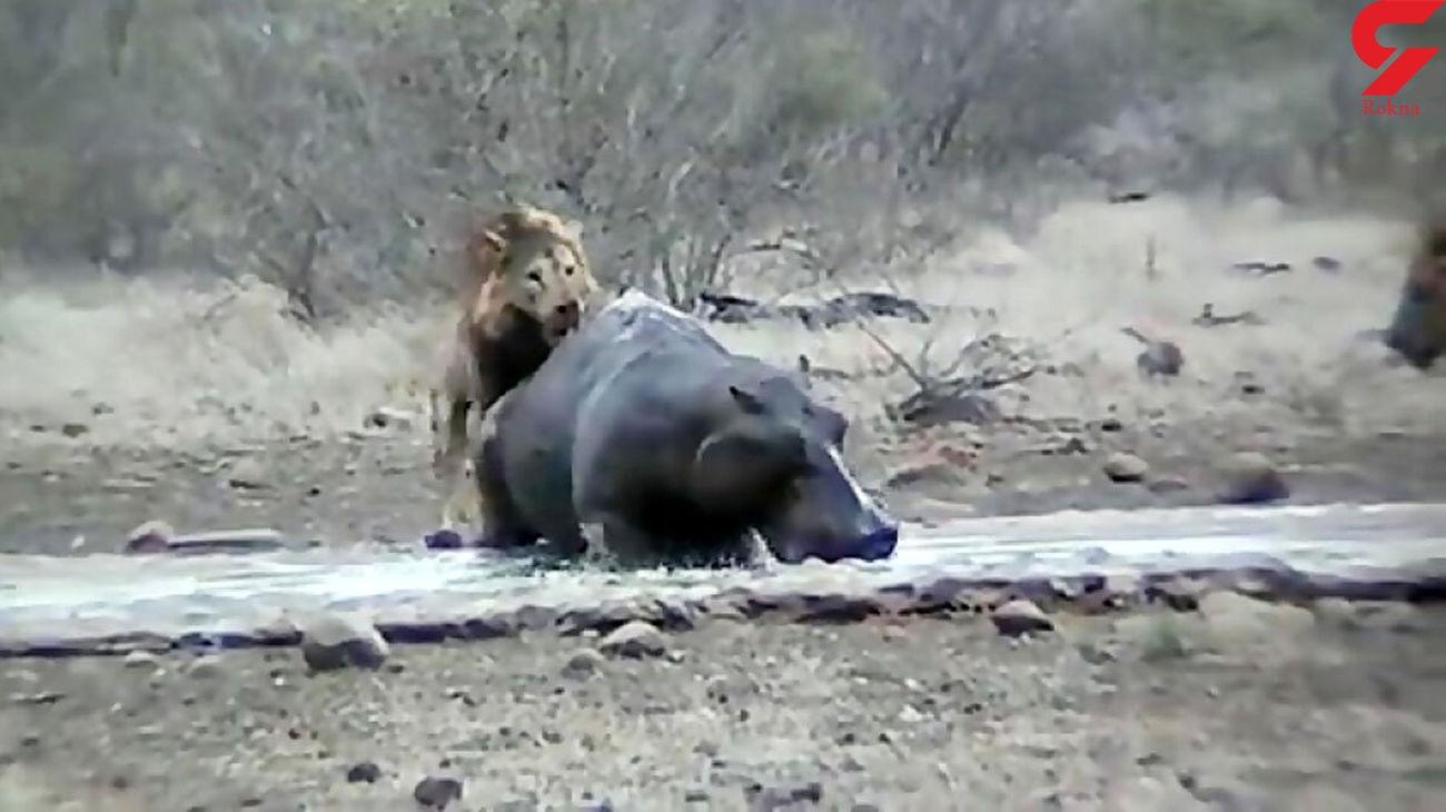 شکار اسب آبی در حمله شیر گرسنه + فیلم