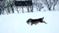 فیلم دیدنی حمله 4 گرگ به یک خرگوش بیخ گوش مردم! / خرمدره