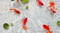 توصیههای بهداشتی برای نگهداری ماهی قرمز شب عید