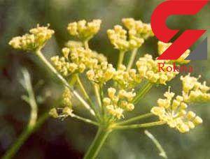 بهبود قولنج  با یک گیاه پر خاصیت