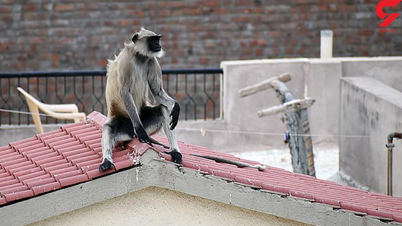 مرگ تلخ دختر 13 ساله توسط میمون ها + عکس