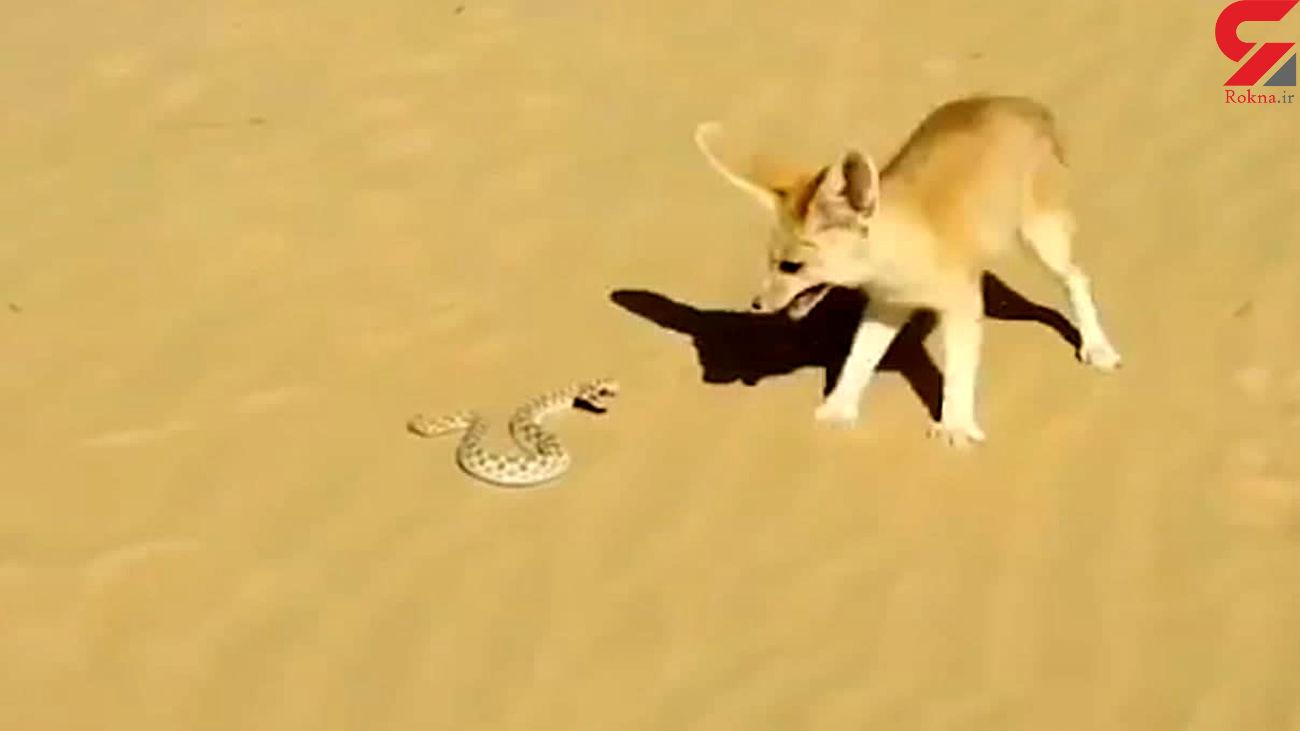 کشته شدن مار به دست روباه + فیلم