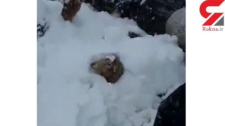 این فیلم را حتما ببینید / نجات 500 گوسفند از زیر برف گیلان
