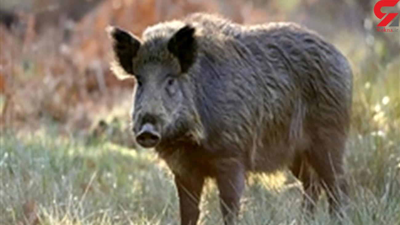 مرگ مرد الیگودرزی در حمله گراز وحشی