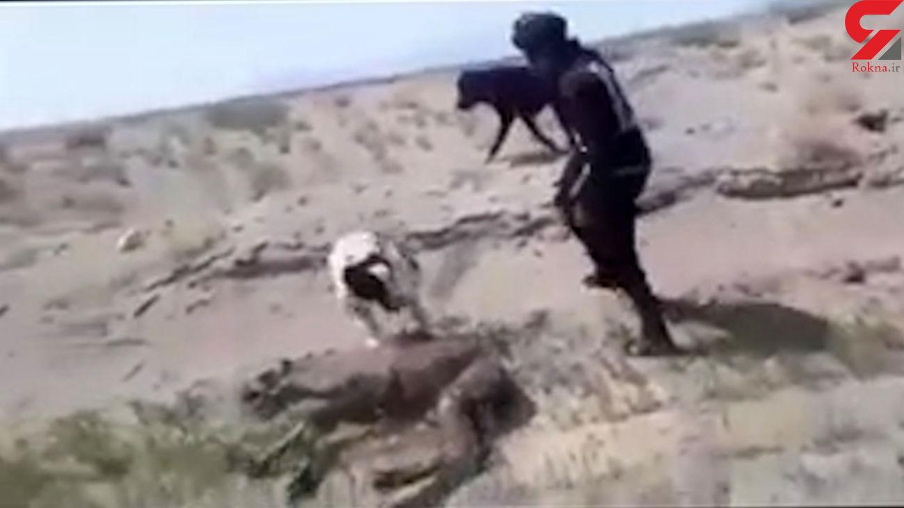 فیلم شکنجه بچه شتر کنار مادرش توسط 4 مرد و سگ هایش در زیرکوه ! / بازداشت شدند