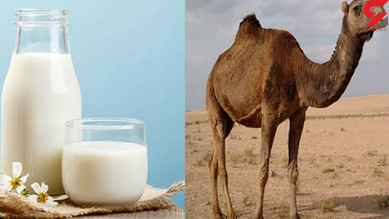 شیر شتر پر از خاصیت زیبایی و سلامت