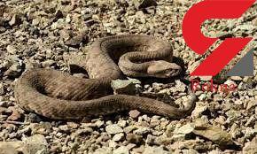 جیغ های خانواده گچسارانی علت وحشتناکی داشت! / مارسمی آنها را دنبال کرده بود