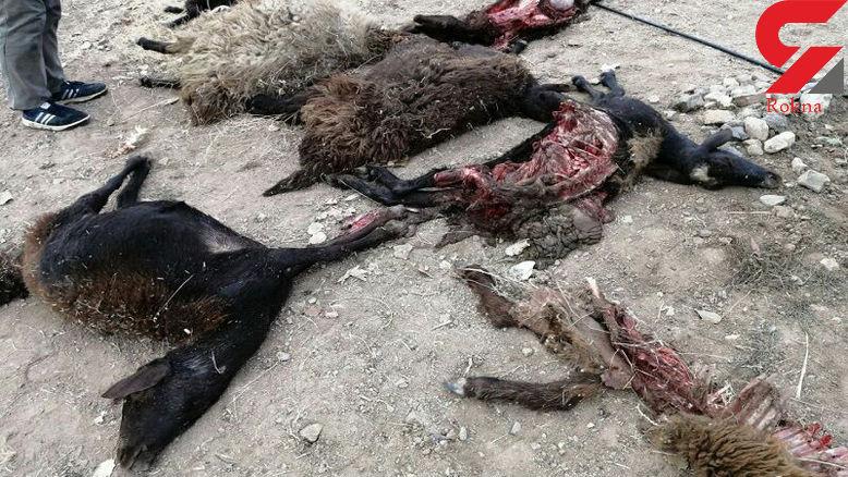 وحشت از حمله خونین گرگ های گرسنه در مبارکه اصفهان