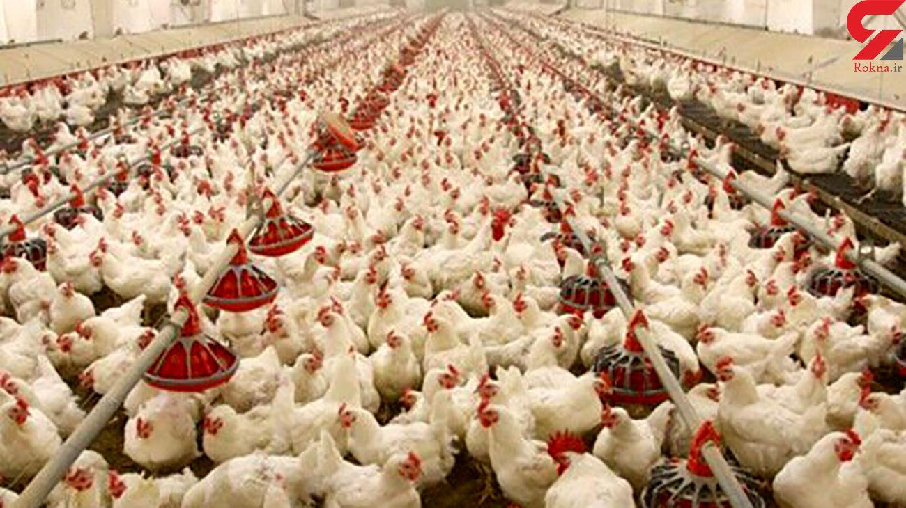 کشف 1500 قطعه مرغ زنده قاچاق در میناب