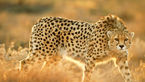 جولان 15 یوزپلنگ ایرانی در شاهرود