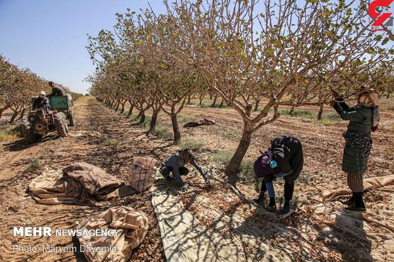 کاشت ۱۶۲ هکتار پسته در استان ایلام