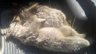 زنده بودن مادر ۲ توله خرس تلف شده پارک ملی دنا در هالهای از ابهام