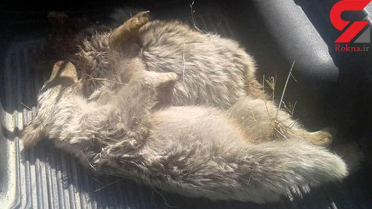 مرگ 2 توله خرس در پارک ملی دنا/ آن ها با اسلحه ساچمه زنی تلف شدند+عکس