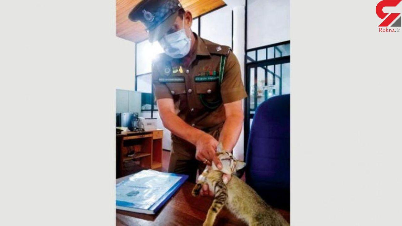 این گربه تبهکار پلیس را به دردسر انداخت / او با زندانی ها رفت و آمد داشت ! + عکس
