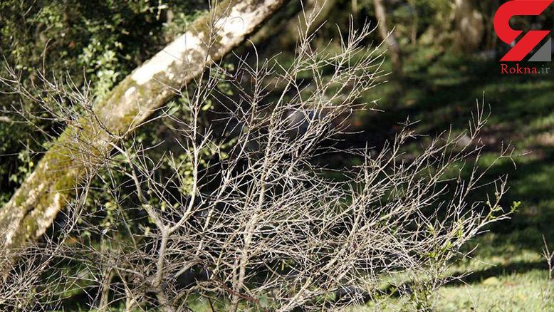 درختان خشکیده شمشاد در جنگل قطع می شود