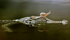سواری گرفتن حلزون از تمساح +عکس