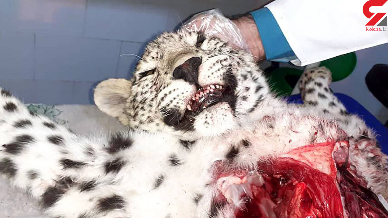 5 عکس از لاشه اولین پلنگ ایرانی مرده در سال 1400 + علت جالب مرگ