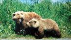 خرس هایی که گیاهخوار شدند / تغذیه خرس های قهوه ای از گیاه آقطی